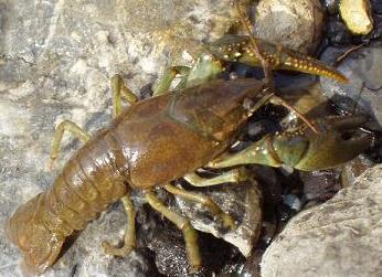 Crawdad (Crayfish)