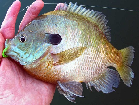 Anglers must release bluegill caught at Steinaker Reservoir, Pelican Lake