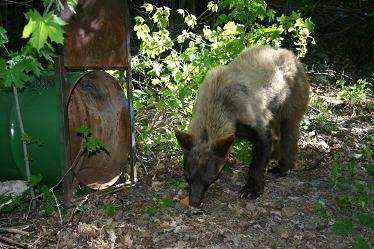 Bear eating a pastry left for it near a trap in Provo Canyon
