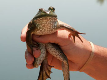 The Bullfrog is an invasive species to Utah