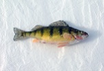 Catch Perch Win Prizes