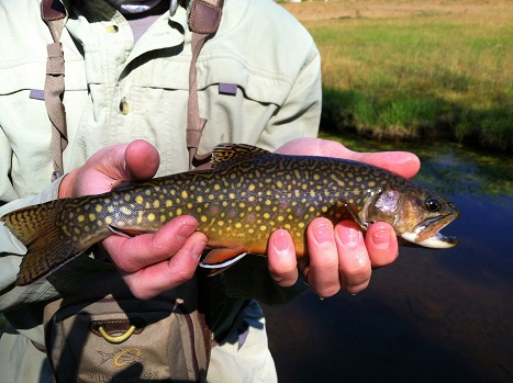 Brook Trout caught in the Uintas