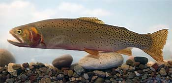 Colorado River Cutthroat Trout
