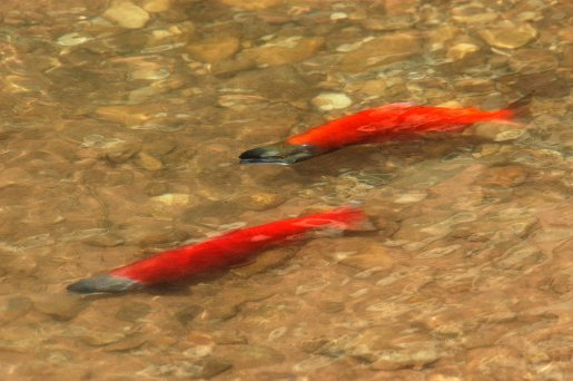 Kokanee Salmon Fishing Change