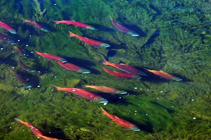 Three events where you can see bright red kokanee salmon in Utah this fall