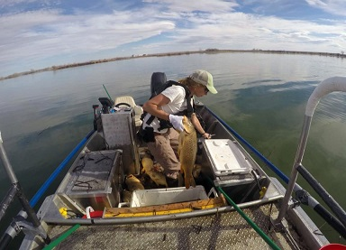 Bringing Big Bluegill Back to Pelican Lake