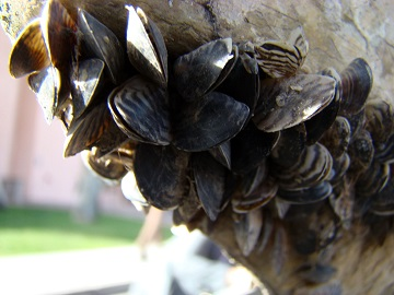 Quagga mussels on a boat hull at Lake Mead