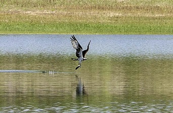 See fish-eating osprey at Flaming Gorge Reservoir