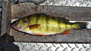 Yellow Perch from Starvation