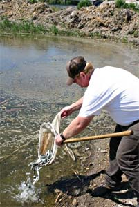 June suckers being placed into a pond at the Springville State Fish Hatchery