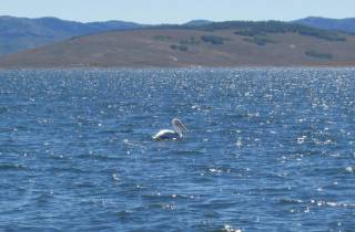 Pelican on Strawberry Reservoir